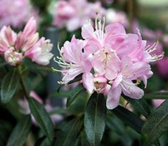 Rhododendron 'Ruth Lyons'