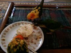 It is important to learn about what is the best diet for a Sun Conure so your bird will live long, healthy, and happy!  Sugar IS NOT good for a Sun but a little treat now and then won't hurt!