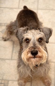 What an adorable mini schnauzer, just look at that face so so darling