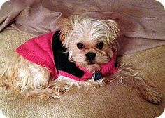 Indianapolis, IN - Brussels Griffon/Affenpinscher Mix. Meet CHA-CHA in Indianapolis, IN a Dog for Adoption.