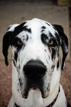 Great Dane (by RileyMai), mostly white with black markings. Love My Dog, Great Dane Dogs, Cute Dogs, Big Dogs, Dogs And Puppies, Doggies, Beautiful Dogs, Animals Beautiful, Pugs