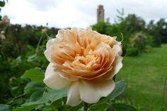 Rose & tower - macro in a beautiful villa
