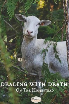 Dealing with Death On The Homestead - good wisdom from the Elliott Homestead.  Y'all come by for a spell and visit The Soul Patch Homestead for lots of ideas, way cool pictures, recipes, and all things animals and homesteading! Thanks! https://www.facebook.com/pages/The-Soul-Patch-Homestead/105713489481647?fref=photo