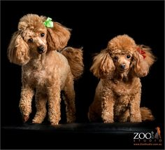 Oh myyyy 💋 what do we have here, twins💕🐩🐩 Animals And Pets, Cute Animals, Red Poodles, Fru Fru, Dogs And Kids, Bichon Frise, Mans Best Friend, Dog Grooming, Dog Pictures