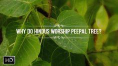 Why do Hindus Worship The Peepal Tree - Scientific Benefits and Hindu My...