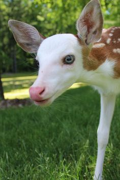 An abandoned baby deer is finding a fairytale ending on a Michigan farm. A rare white-faced fawn has found a loving home at a Michigan animal farm. Baby Exotic Animals, Rare Albino Animals, Unusual Animals, Exotic Pets, Animals And Pets, Wild Animals, Beautiful Creatures, Animals Beautiful, Animal Original