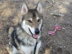 Anko is an adoptable Shepherd Dog in Centerville, MA. Hello, my name is Anko. I am a new breed called a Tamaskan (IShepherd/Husky/Malamute mix). I am just over a year old and still very much a puppy. ...