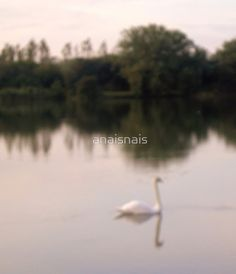 Swan on lakes in Somerset