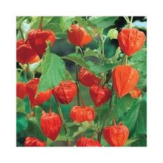Chinese Lanterns Sun Perennials