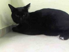 SAFE! TO BE DESTROYED 10/21/14 ** SECOND CHANCE FOR BEAUTIFUL PANTHER KITTY!! Finder stated that Papo is really friendly! ** Manhattan Center  My name is PAPO. My Animal ID # is A1017552. I am a male black and white amer sh mix. The shelter thinks I am about 3 YEARS old.  I came in the shelter as a STRAY on 10/15/2014 from NY 11103