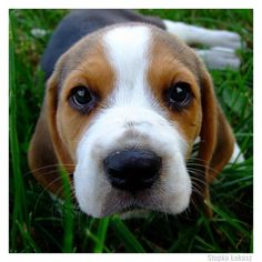 beagle    Like and repin. :)