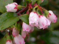 Evergreen huckleberry for back fence line. Mostly sunny-mostly shady; dry-moist. Flowering Period: April, May, June, July.