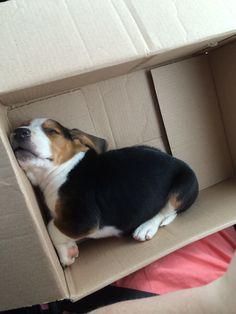 Cubby the Beagle ❤️