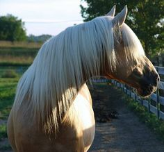 Cherokee is a certified to breed Foundation Stallion for the Kentucky Mountain Saddle Horse Association.  He is a striking dark, dappled palomino with a snow white mane and tail. He was foaled April 1, 1995.