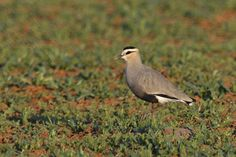 The Sociable Lapwing or Sociable Plover (Vanellus gregarius) breeds on open grassland in Russia and Kazakhstan and migrate south to key wintering sites in north-west India. It feeds on insects and other small prey mainly from grassland or arable. This attractive medium-sized lapwing has longish black legs and a short black bill. The call is a harsh kereck. It is categorised as critically endangered, due to a very rapid population decline for poorly understood reasons.