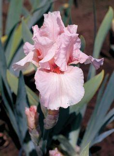 "Lenora Pearl | Reblooming Iris.  27"". Early."