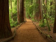 Path through Redwood Forest Rotorua New Zealand Canvas Art - David Wall DanitaDelimont x The Places Youll Go, Places To See, Rotorua New Zealand, Redwood Forest, Tree Forest, Forest Trail, Forest Path, Celestial, The Great Outdoors