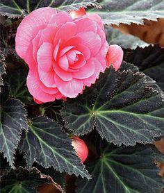Begonia 'Dark Mocca Pink' Tuberous Begonia - One of the best flowering summer shade plants, begonias