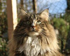 Norwegian Forest cats in Bavaria - av Folgefonn - G-litter av Folgefonn