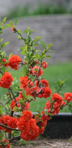 Double Take Orange Quince comes out of winter kicking and screaming--a bright burst of color in the early spring landscape. Stunning.