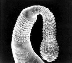 Acanthocephala Parasitic Worms, Bfg, Simple