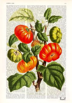 Tomato Plant Vintage illustration print on Book page by PRRINT