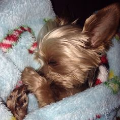 Yorkie- Lolly the Yorkie, sweet dreams