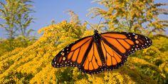 Der drastische Rückgang der Monarchfalter