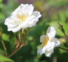 Rosa 'Rambling Rector' (Rambling Rose)