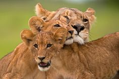 """Portrait of a lioness and her two cubs. #lions #family #babyanimals #cute…"""""""