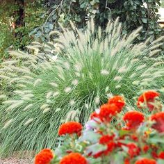 Fountaingrass  A mounding plant with a lovely shape, its name refers to its graceful spray of foliage and late-summer plumes of fuzzy flowers. The white, pink or red plumes (according to variety) continue into fall and bring an informal look to gardens. Some Pennisetum self seed freely, which means they can become invasive.