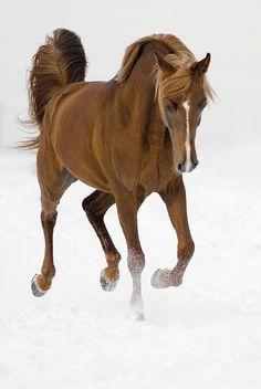 Arab horse, buscando la ruta en la nieve