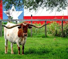 """I Love Texas, College Station, Texas. likes. """"I Love Texas"""" is all about the Great State of Texas and why we love her! """"Texas is a state of mind. Shes Like Texas, Longhorn Cattle, Longhorn Steer, Only In Texas, Republic Of Texas, Gado, Texas Forever, Loving Texas, Texas Pride"""