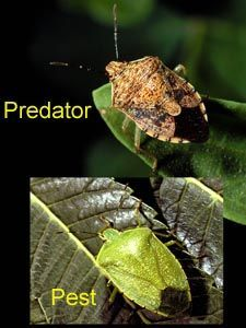• Stink bugs have a shieldlike shape with a large triangular area between the leathery portions of the front wings (scutellum) and five-segmented antennae. Telling the good guys (predators) from the bad guys (plant feeders), however, is not always easy. A simple rule of thumb is that green stink bugs are most often plant feeders, while brown or gray stink bugs are more likely to be predators. Actually, some brown or grey stink bugs are plant feeders, but are somewhat less common.
