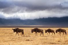 Wildlife Photography in Ngorongoro Crater, Tanzania - 25,000 large animals in 100 square miles provides excellent opportunities for wildlife photography in Ngorongoro Crater, Tanzania, Africa. http://annemckinnell.com/2014/12/12/wildlife-photography-ngorongoro-crater-tanzania/ #photo #travel #africa #wildlife #wildebeest #tanzania