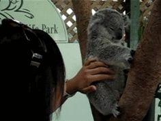 The koala with dancing ears.