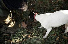 Auf Trüffelsuche mit Sally. Tuber Magnatum Pico, der weiße Albatrüffel, war unser Objekt der Begierde, als wir Ende Oktober ins Piemont fuhren. Wir wollten die Spannung erleben, mit der jeden Herbst die Trüffelsucher dort die wertvollsten Knollen der Welt suchen. #vianifoodstory #trüffelsuche #trüffel #trüffelhund #italien #piemont