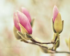 Photography Nature Botanical Fine Art Magnolia Tree Pink Blooms Sage Green  8x10 on Etsy, $30.00