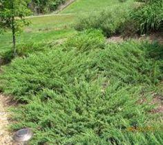 Green Sargent Spreading Juniper