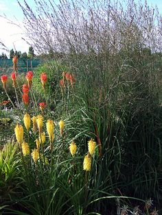 molina 'skyracer'  with later flowering pokers