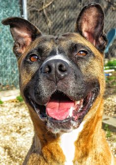 14-686 Tiger is an adoptable Pit Bull Terrier searching for a forever family near West Babylon, NY. Use Petfinder to find adoptable pets in your area.