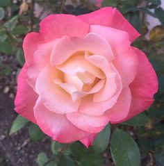 #Love Is Kind, Love Is Gentle 💛💗⭐️💗 💛 #Sweet #dreams #GlorytoGod #nature #royal #garden #fall #bloom #true #natural #earth #beautiful #rose #flowers #roses #inspiration #gorgeous #flower #amazing #thankyou #Jesus #great #Creator #nofilter #BeBlessed #BeLOVE 👑