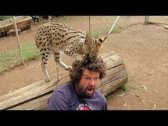 I think this serval is a wannabe hairdresser: http://www.sparklecat.com/weird-cat-videos/sunday-catinee-wildcat-hairdresser