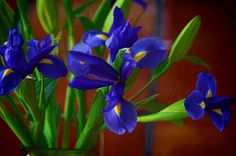 Just Iris by Pamela Blizzard #flower #iris
