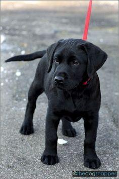 Bereit die Welt zu entdecken! | thedogsnapper.wordpress.com | #Labrador #LabradorRetriever