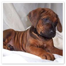 rhodesian ridgeback baby! These are the most handsome dogs. Very masculine. The hubby loves these too!