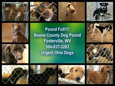 Boone County Dog Pound, Fosterville, WV, really needs help! Their pound is full and they have wonderful dogs available for adoption, many only around 1 year old. If you can foster, please check availability with the pound. Rescues, maybe you can help out by obtaining some of the dogs to adopt. Their phone number is (304) 837-3262 and e-mail is Barc_wv@yahoo.com. Urgent Ohio Dogs wanted to call to your attention the seriously full pound at Boone County. Thank you, Urgent Ohio Dogs and thank…