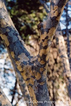 Bark of Cornus kousa