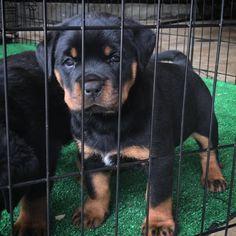 Rottweiler Breed, Rottweiler Love, Mans Best Friend, Best Friends, Best Dogs, Funny, Rottweilers, Cute, Corgis