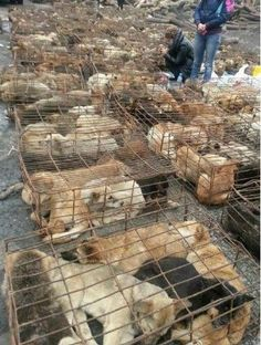 March, 2013, in Chongqing, China, a truck was found transporting more than 900 dogs, distributing them to restaurants, slaughterhouses. These are family owned lost/stolen pets (some still have collars on. The truck was stopped by a group of volunteers and fortunately the dogs are saved. By the time they were found, most of them were in very bad health condition and only few  were found by their owners. Through out the entire day of rescuing volunteers did not get any help from the government